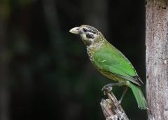 Black-eared Catbird (Image ID 38286)