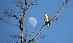 White-bellied Sea-Eagle (Image ID 38369)