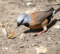 Black-throated Finch (Image ID 38301)