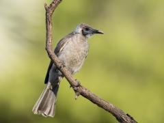 Little Friarbird (Image ID 38208)