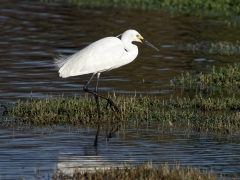 Little Egret (Image ID 38248)