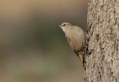 Brown Treecreeper (Image ID 38269)