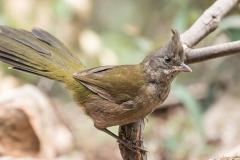 Eastern Whipbird (Image ID 38367)