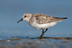 Red-necked Stint (Image ID 39280)