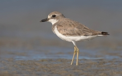 Greater Sand Plover (Image ID 39285)