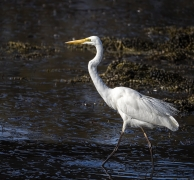 Great Egret (Image ID 39286)