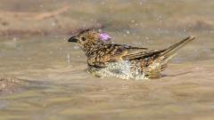 Spotted Bowerbird (Image ID 39083)