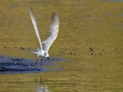 Whiskered Tern (Image ID 39330)