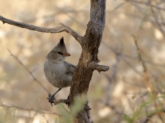 Chiming Wedgebill (Image ID 39741)