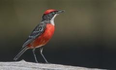 Crimson Chat (Image ID 39725)