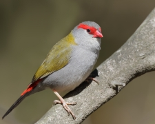 Red-browed Finch (Image ID 39851)