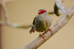 Red-browed Finch (Image ID 39883)