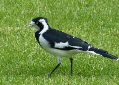Magpie-lark (Image ID 39903)