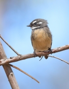Grey Fantail (Image ID 39910)