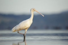 Yellow-billed Spoonbill (Image ID 39934)