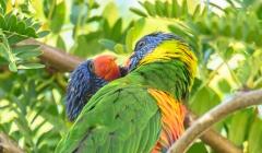 Rainbow Lorikeet (Image ID 39922)