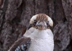 Laughing Kookaburra (Image ID 39911)