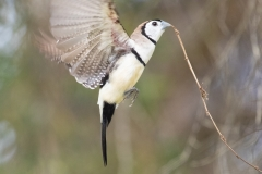 Double-barred Finch (Image ID 39849)