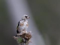 European Goldfinch (Image ID 39857)