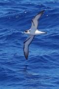 Barau's Petrel (V) (Image ID 40415)