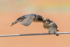Welcome Swallow (Image ID 40635)