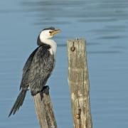 Little Pied Cormorant (Image ID 40615)