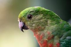 Australian King-Parrot (Image ID 40868)