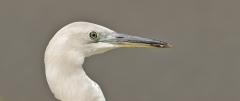 White-necked Heron (Image ID 40812)