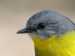 Eastern Yellow Robin (Image ID 40989)