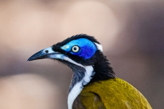 Blue-faced Honeyeater (Image ID 40896)