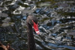 Black Swan (Image ID 40824)
