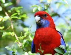 Crimson Rosella (Image ID 41063)