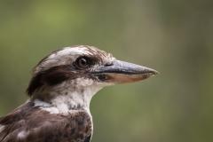 Laughing Kookaburra (Image ID 40947)