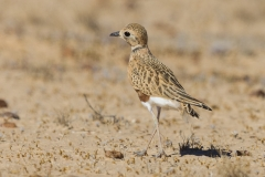 Inland Dotterel (Image ID 40903)