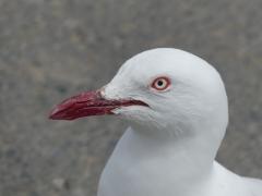 Silver Gull (Image ID 40908)