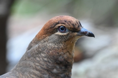 Brown Cuckoo-Dove (Image ID 40835)