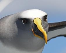 Buller's Albatross (Image ID 41006)