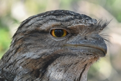 Tawny Frogmouth (Image ID 40833)