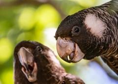 Carnaby's Black-Cockatoo (Image ID 40873)