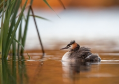 Great Crested Grebe (Image ID 41499)