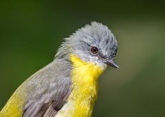 Eastern Yellow Robin (Image ID 41162)