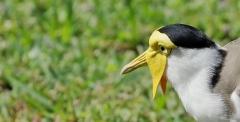 Masked Lapwing (Image ID 41102)