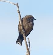 Dusky Woodswallow (Image ID 41169)
