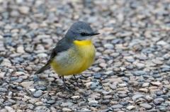 Eastern Yellow Robin (Image ID 41170)