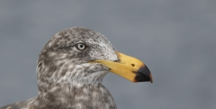 Pacific Gull (Image ID 41148)