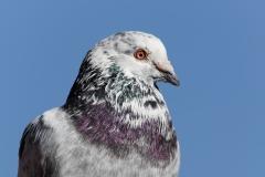 Rock Dove (Image ID 41096)