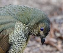 Satin Bowerbird (Image ID 41094)