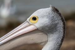 Australian Pelican (Image ID 41139)