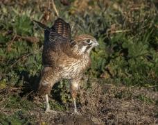 Brown Falcon (Image ID 41145)