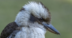 Laughing Kookaburra (Image ID 41107)